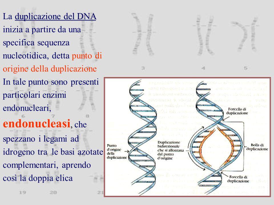 La duplicazione del DNA inizia a partire da una specifica sequenza nucleotidica, detta punto di origine della duplicazione
