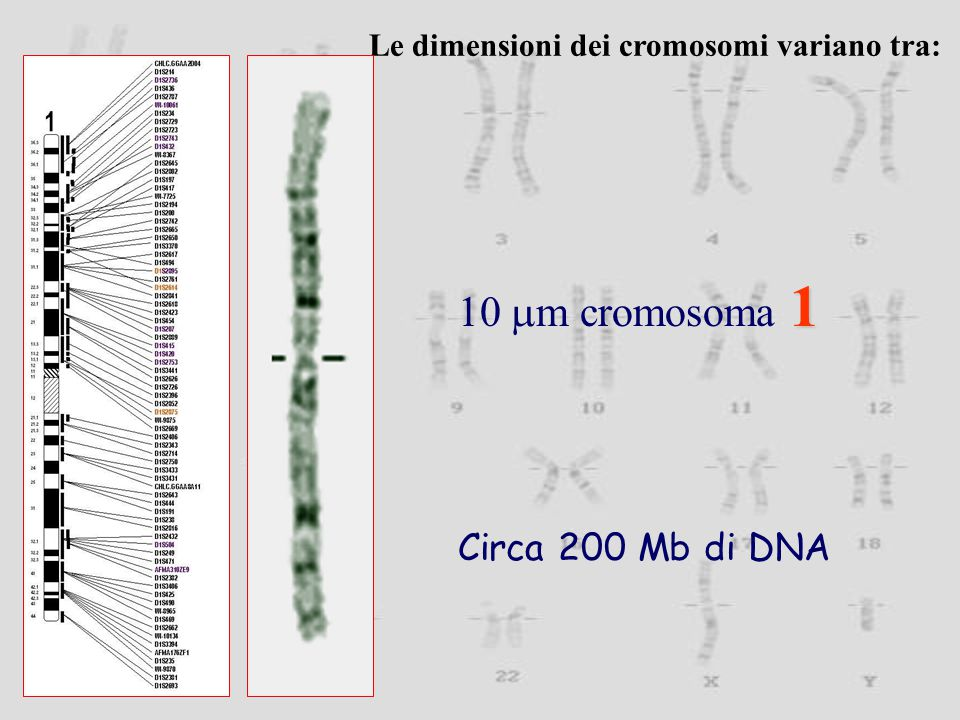 10 mm cromosoma 1 Circa 200 Mb di DNA