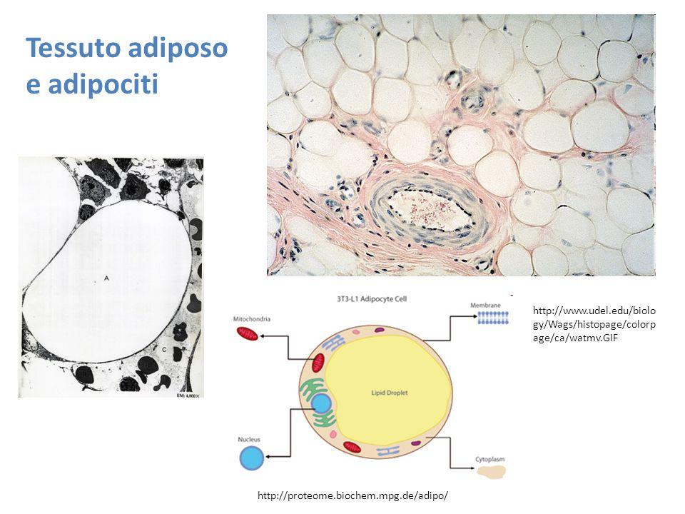 Tessuto adiposo e adipociti
