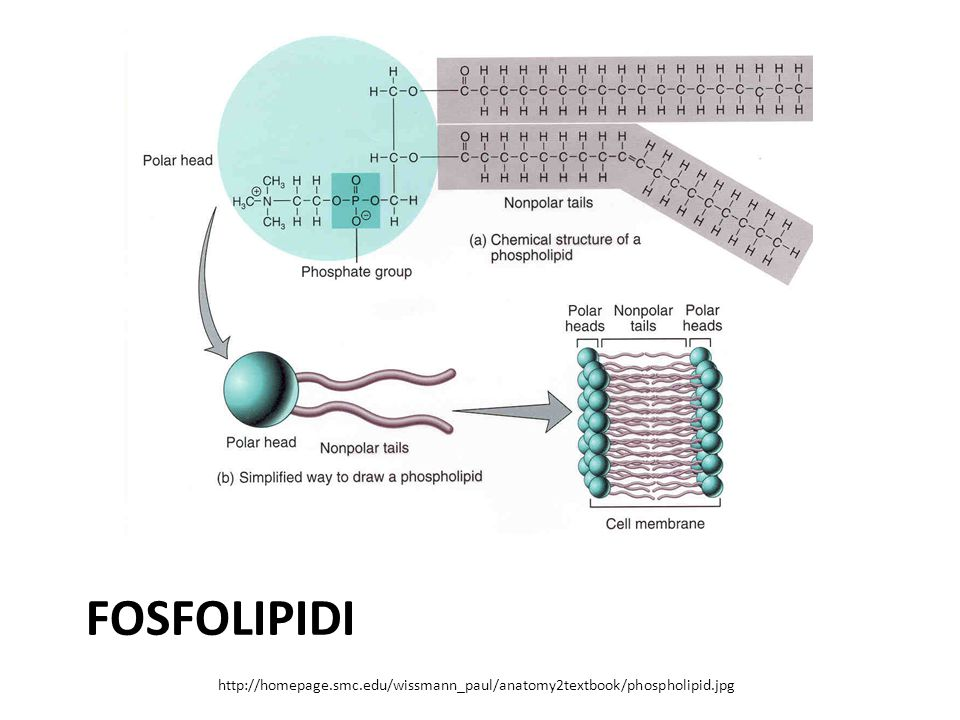 fosfolipidi http://homepage.smc.edu/wissmann_paul/anatomy2textbook/phospholipid.jpg