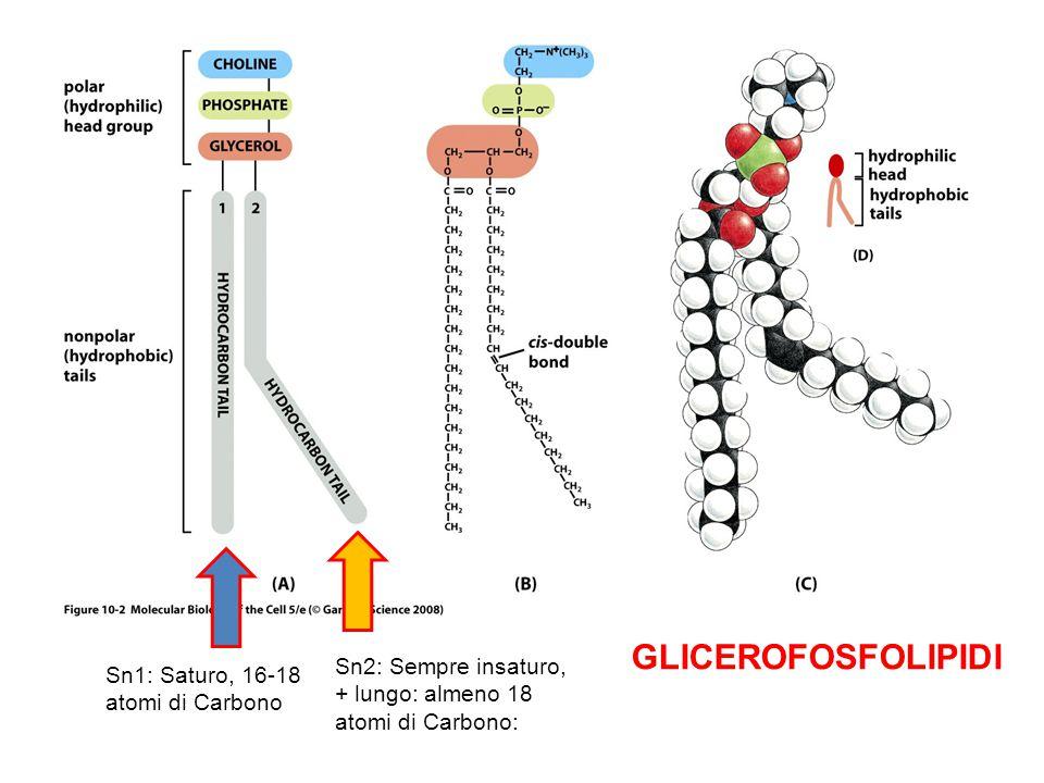 GLICEROFOSFOLIPIDI Sn2: Sempre insaturo, + lungo: almeno 18 atomi di Carbono: Sn1: Saturo, 16-18 atomi di Carbono.