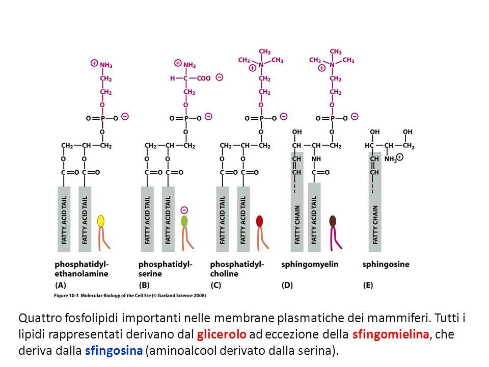 Quattro fosfolipidi importanti nelle membrane plasmatiche dei mammiferi.