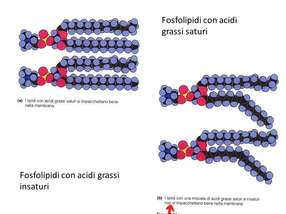 Fosfolipidi con acidi grassi saturi