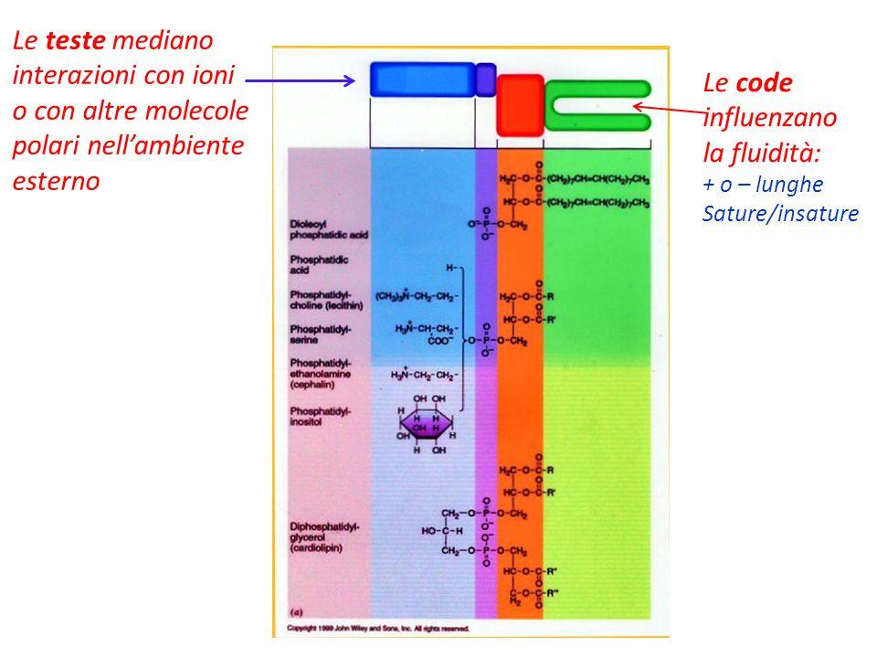 Le teste mediano interazioni con ioni