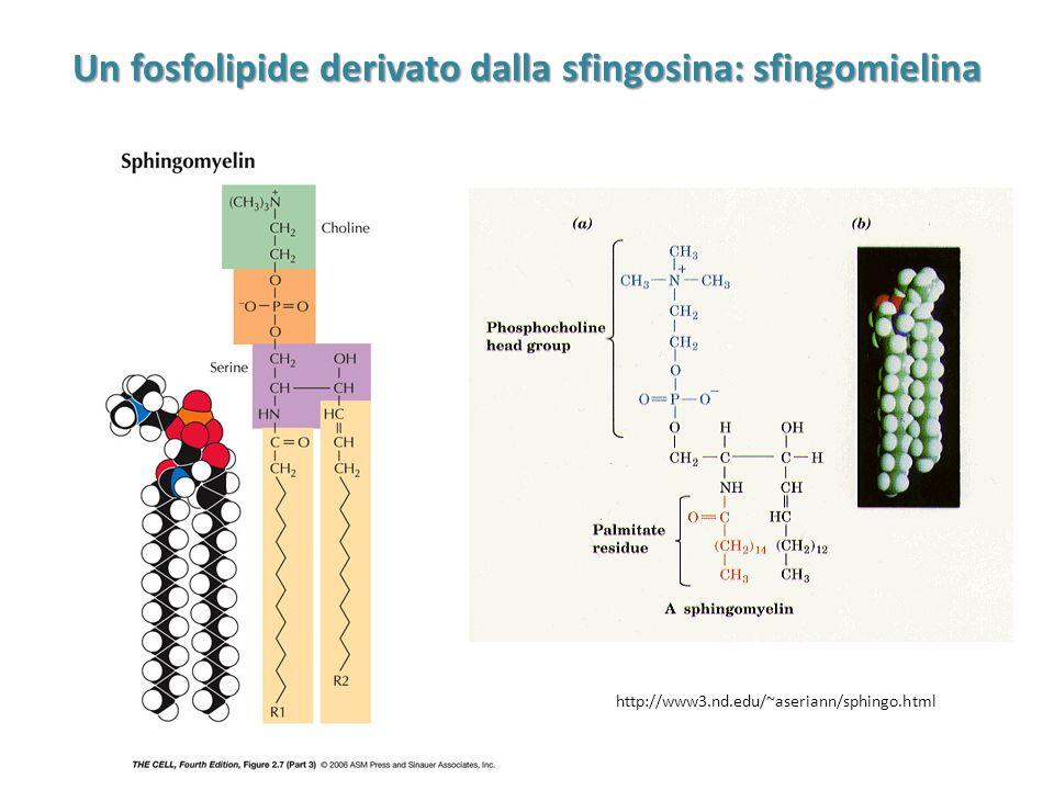 Un fosfolipide derivato dalla sfingosina: sfingomielina