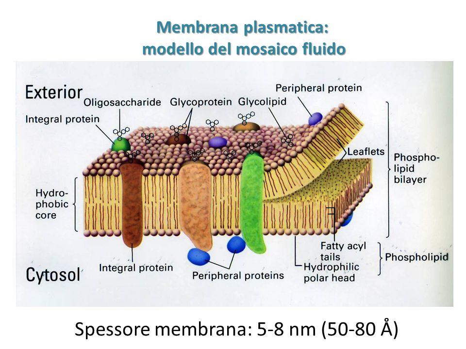 Membrana plasmatica: modello del mosaico fluido