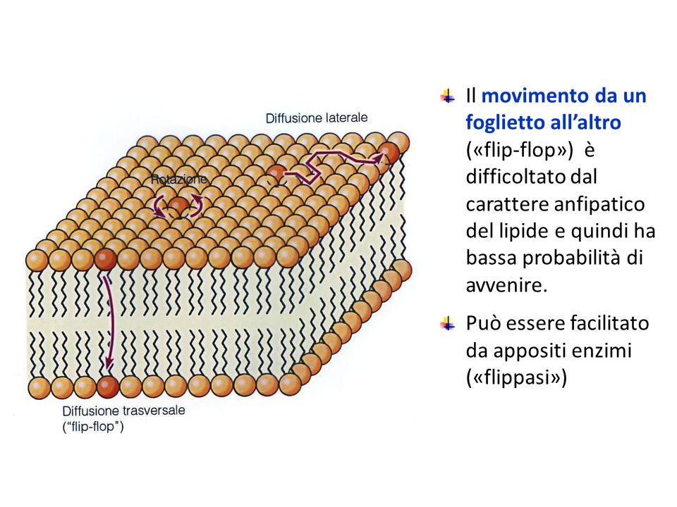 Il movimento da un foglietto all'altro («flip-flop») è difficoltato dal carattere anfipatico del lipide e quindi ha bassa probabilità di avvenire.