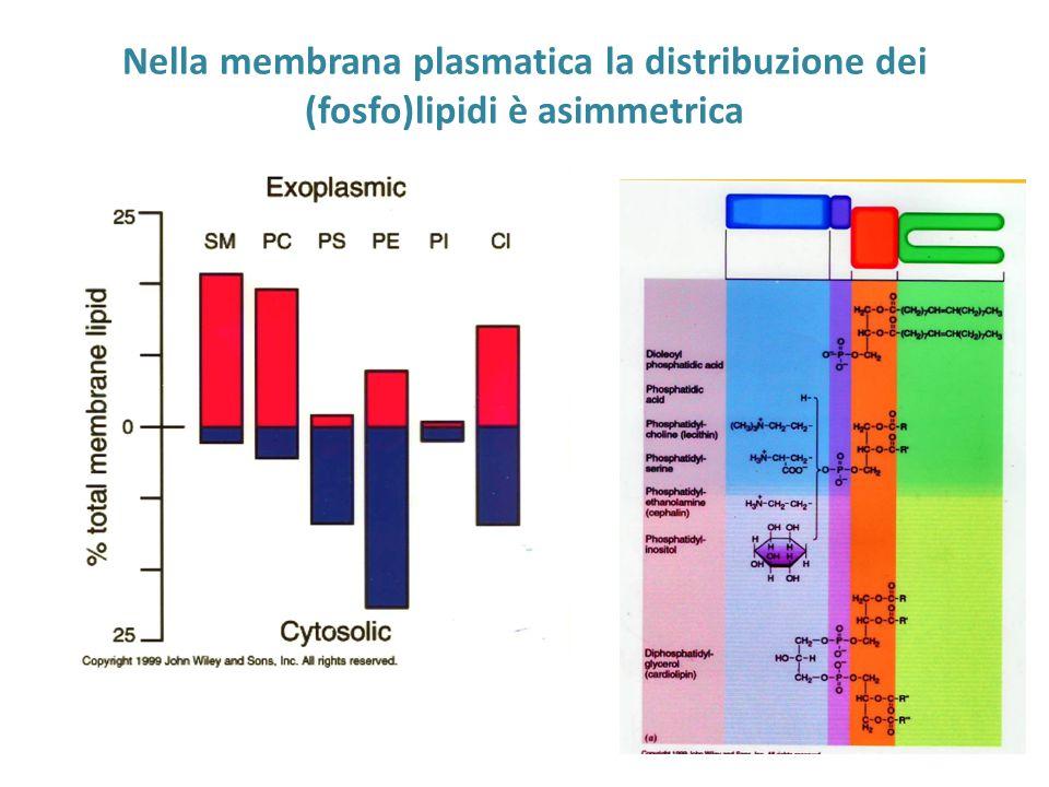 Nella membrana plasmatica la distribuzione dei (fosfo)lipidi è asimmetrica