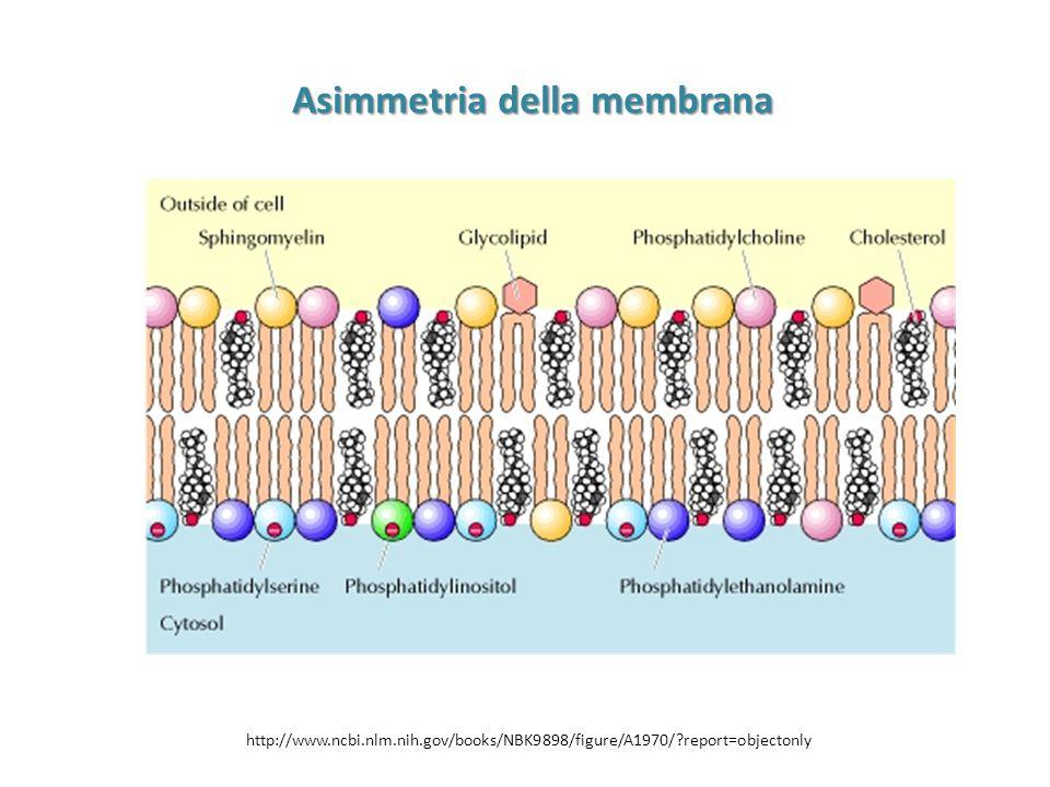 Asimmetria della membrana