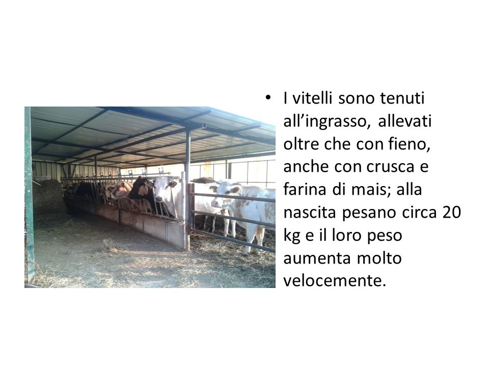 I vitelli sono tenuti all'ingrasso, allevati oltre che con fieno, anche con crusca e farina di mais; alla nascita pesano circa 20 kg e il loro peso aumenta molto velocemente.