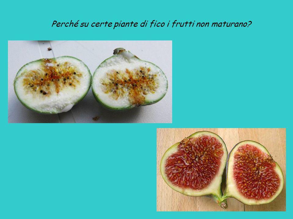 Perché su certe piante di fico i frutti non maturano