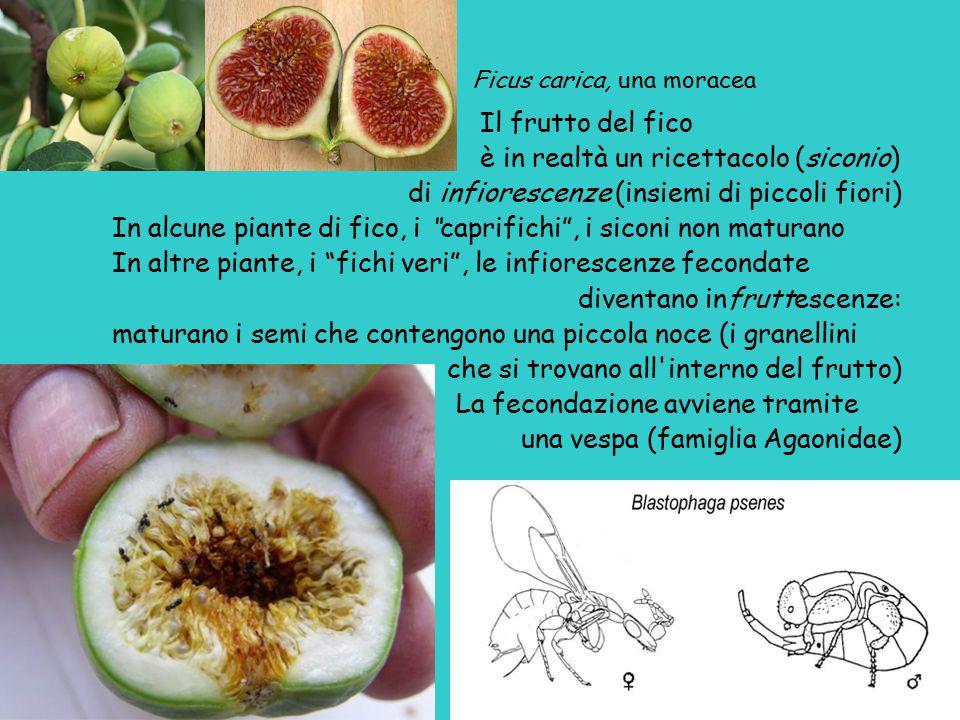 Ficus carica, una moracea