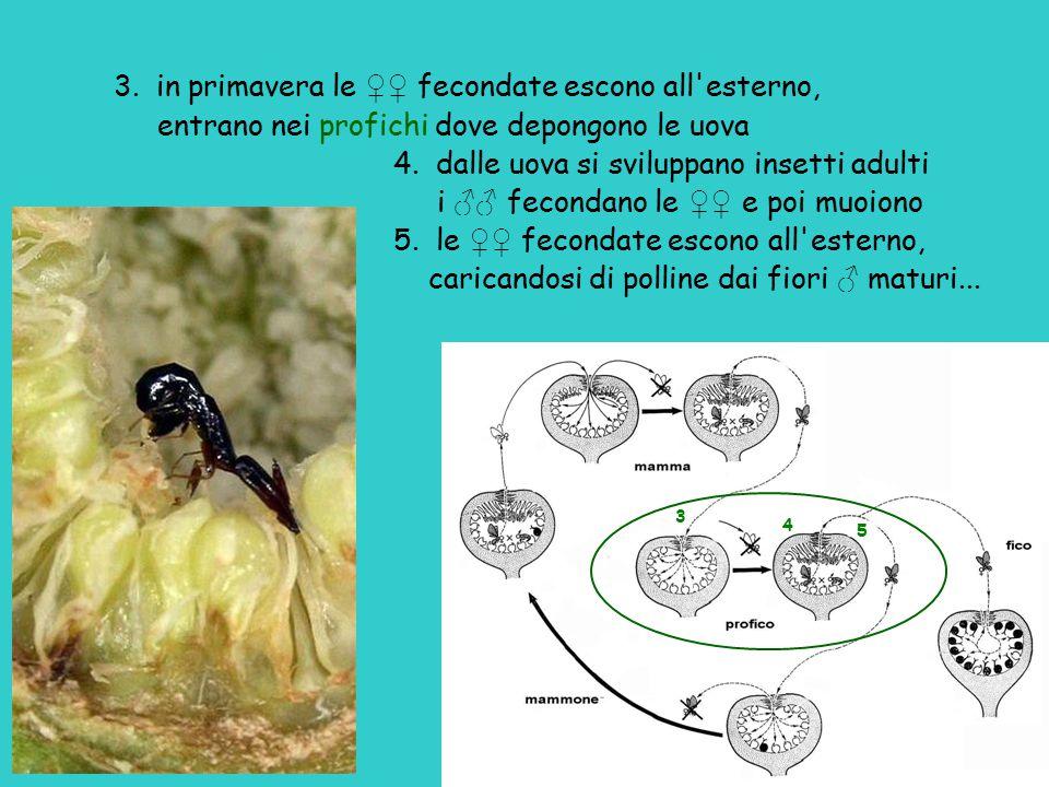 3. in primavera le ♀♀ fecondate escono all esterno,