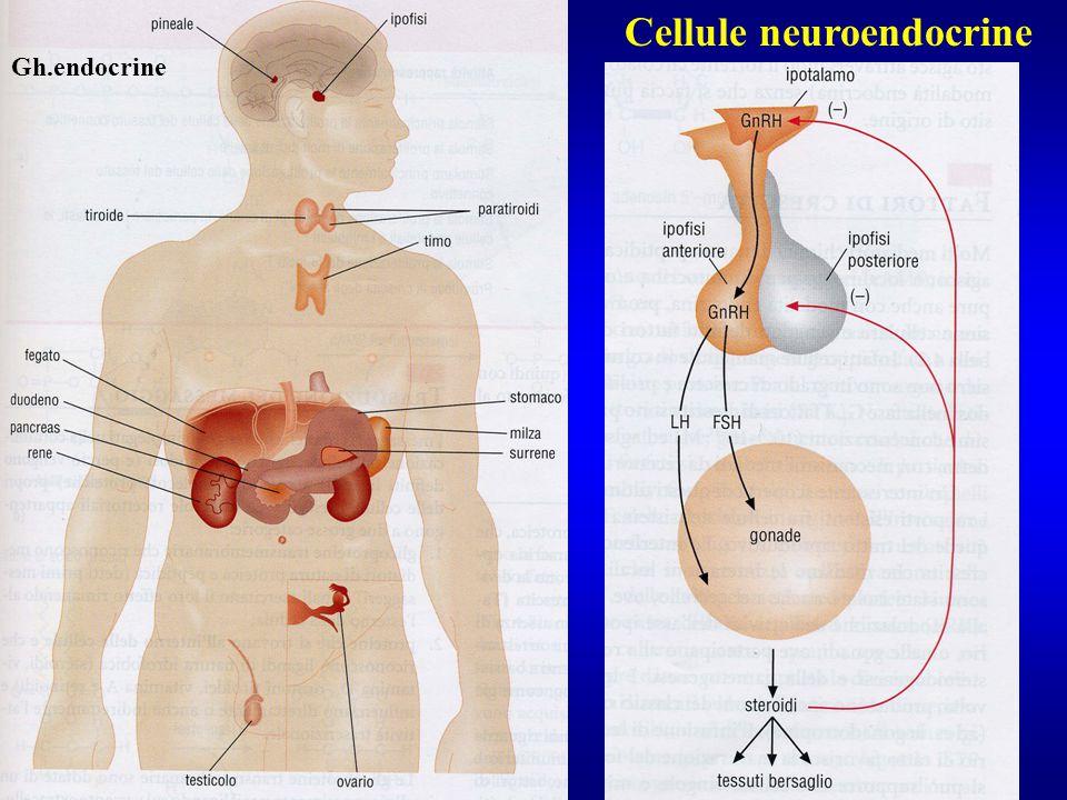 Cellule neuroendocrine