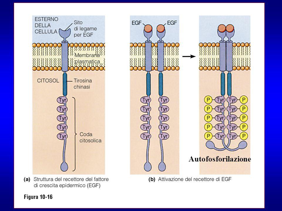 Autofosforilazione