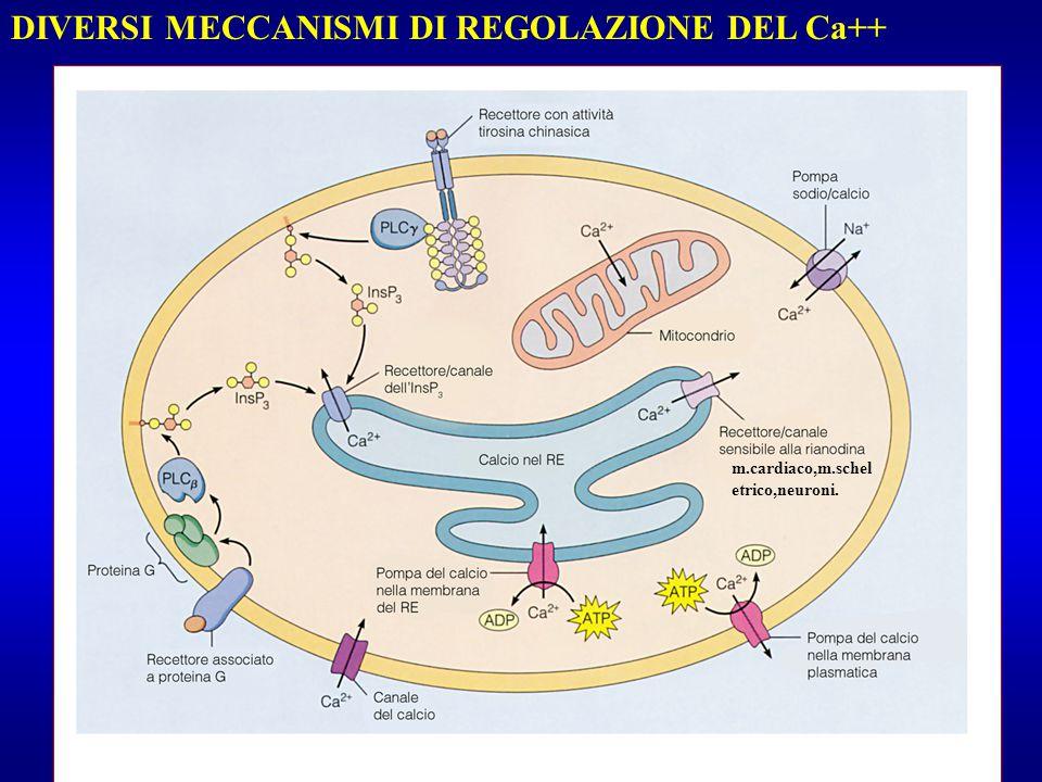 DIVERSI MECCANISMI DI REGOLAZIONE DEL Ca++