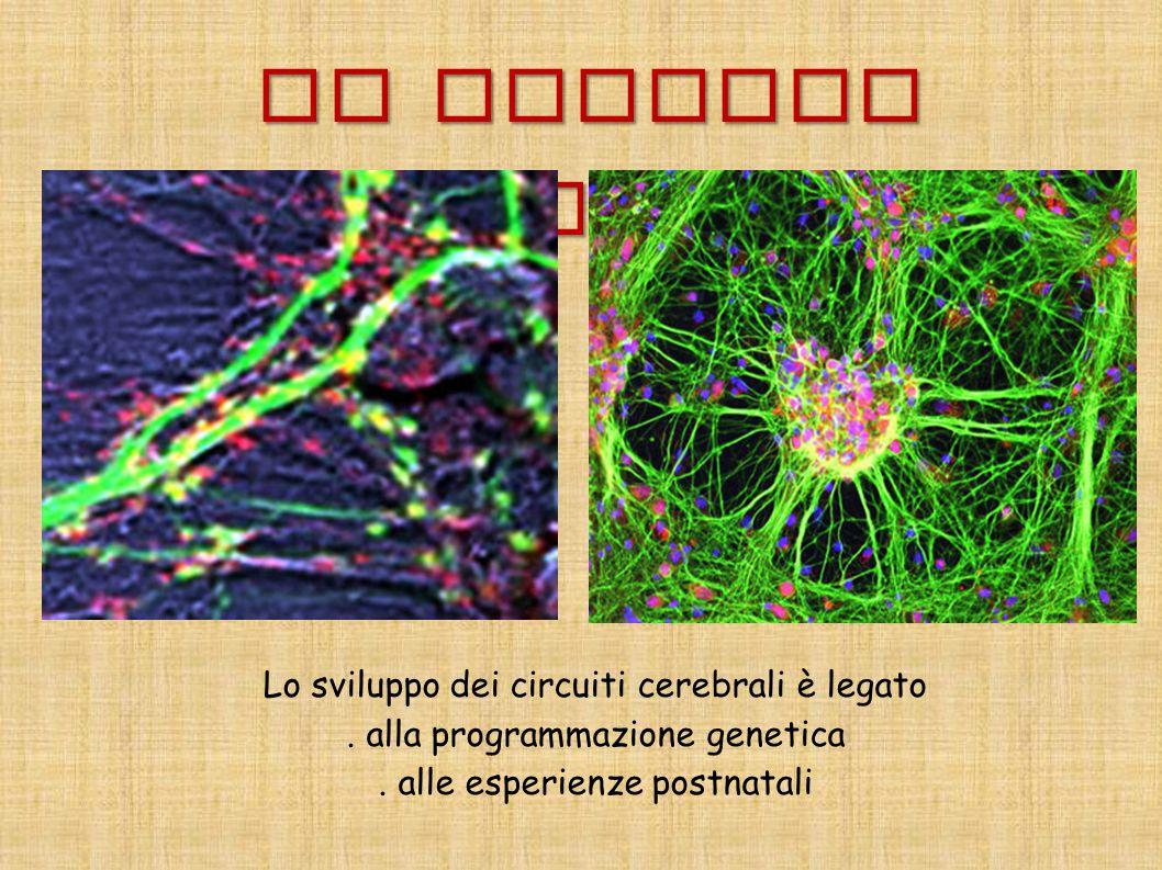 Il neurone plastico Lo sviluppo dei circuiti cerebrali è legato