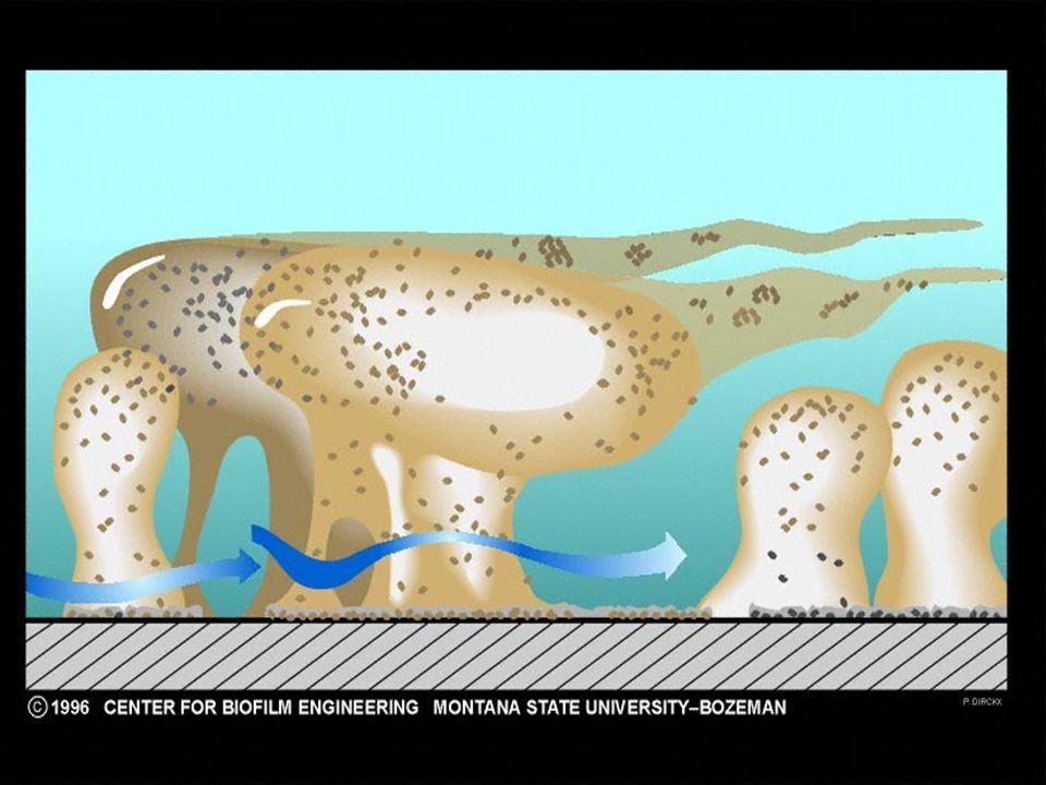 Composizione biofilm H2O. Esopolisaccaridi di natura microbica.