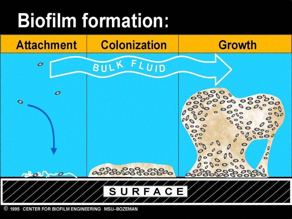 Si riconoscono 3 fasi: adesione delle prime cellule.