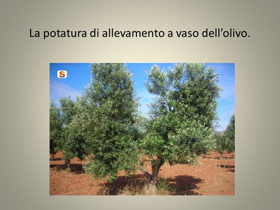 La potatura di allevamento a vaso dell'olivo.