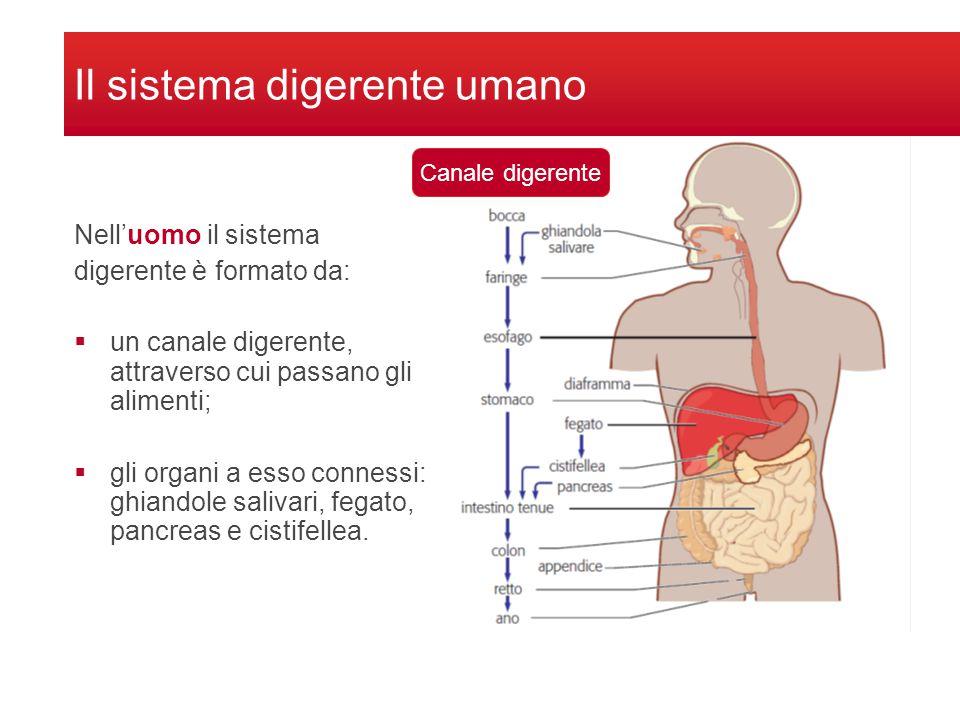 Il sistema digerente umano