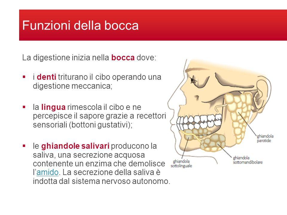 Funzioni della bocca La digestione inizia nella bocca dove: