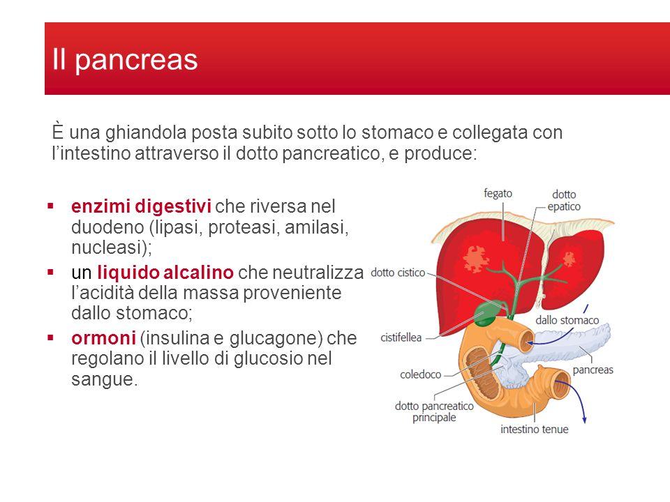 Il pancreas È una ghiandola posta subito sotto lo stomaco e collegata con l'intestino attraverso il dotto pancreatico, e produce: