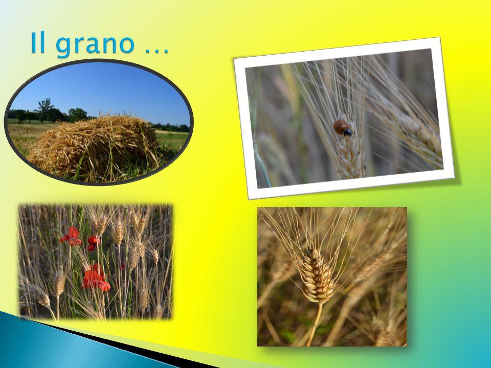 Il grano …