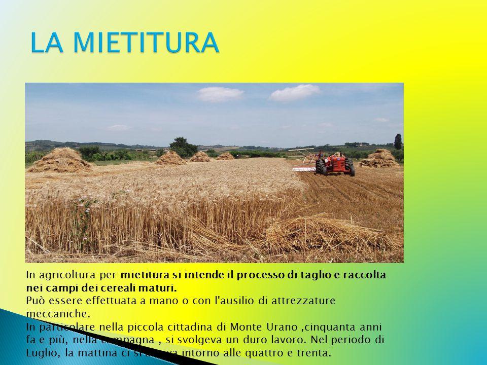 LA MIETITURA In agricoltura per mietitura si intende il processo di taglio e raccolta nei campi dei cereali maturi.