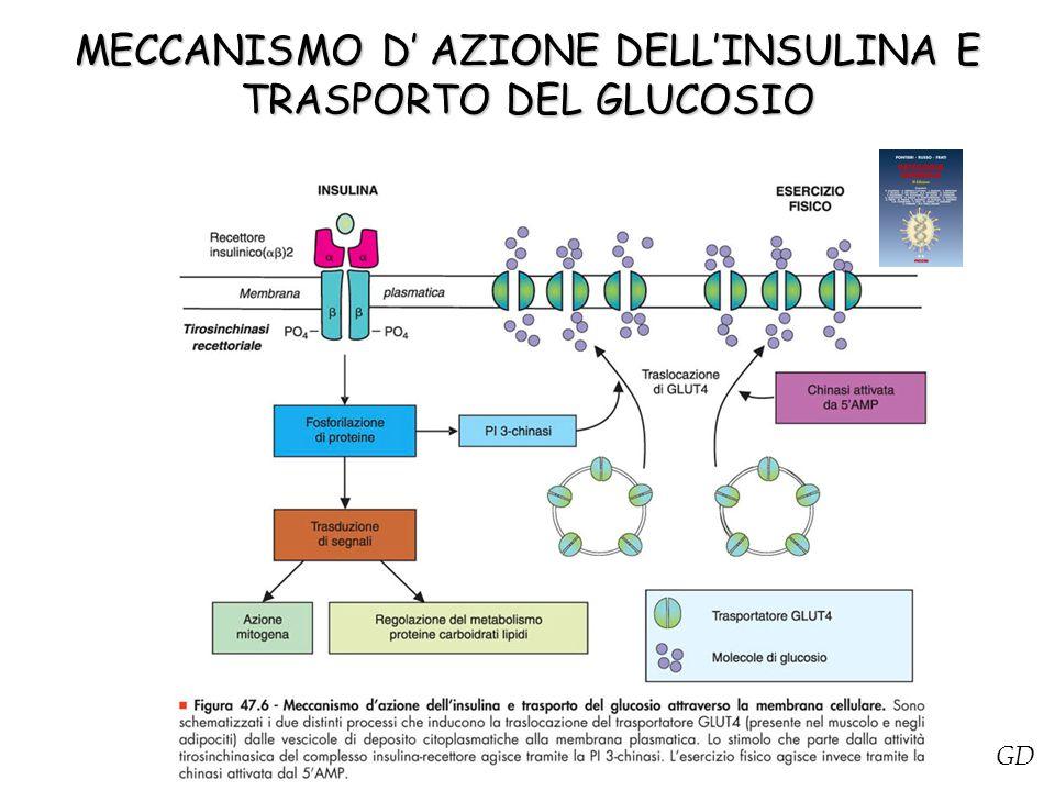MECCANISMO D' AZIONE DELL'INSULINA E TRASPORTO DEL GLUCOSIO
