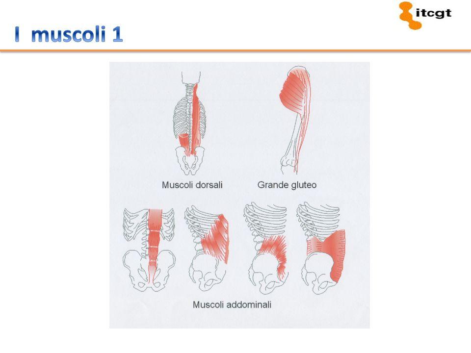 I muscoli 1