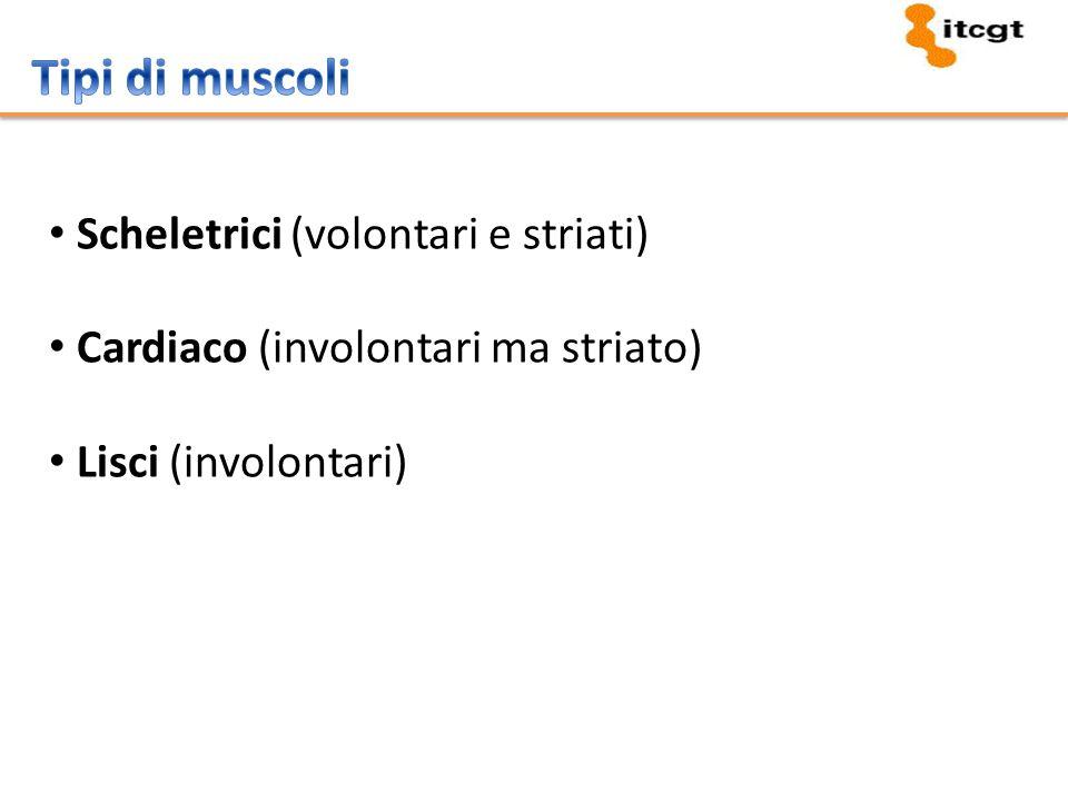 Tipi di muscoli Scheletrici (volontari e striati)