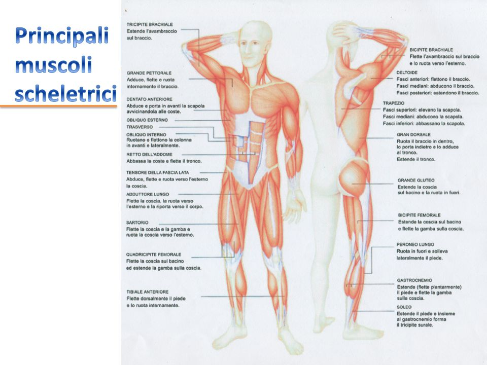 Principali muscoli scheletrici