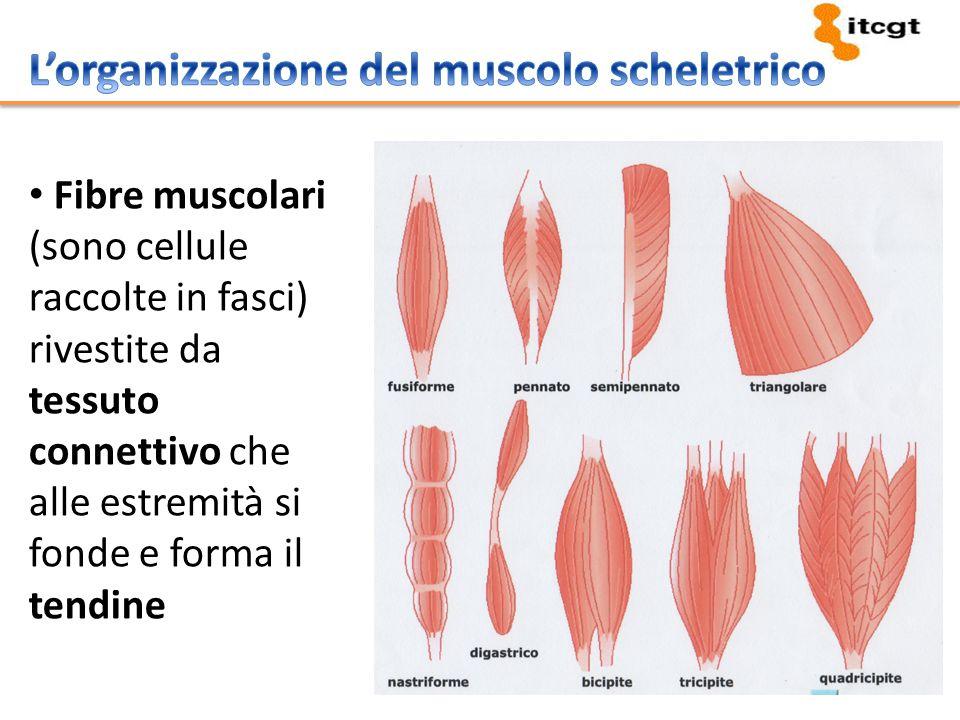 L'organizzazione del muscolo scheletrico