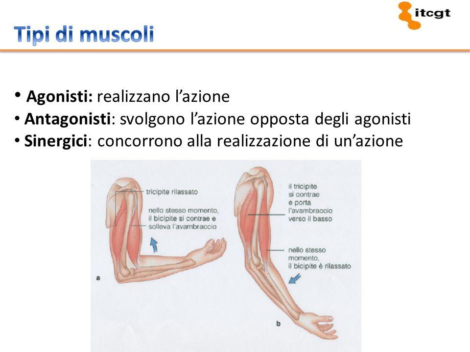 Tipi di muscoli Agonisti: realizzano l'azione