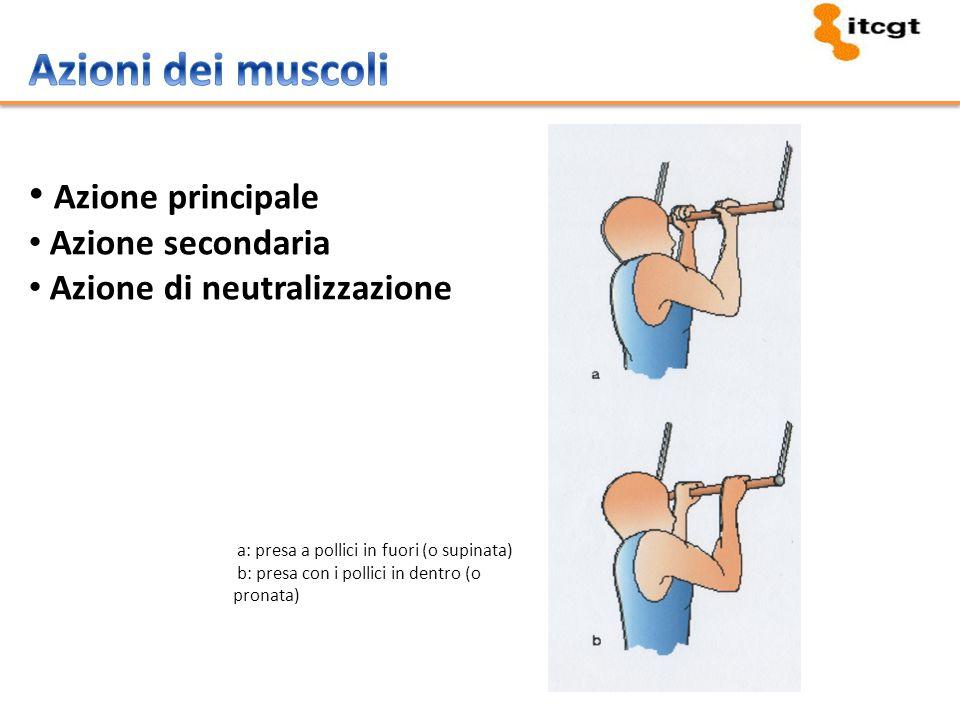 Azioni dei muscoli Azione principale Azione secondaria