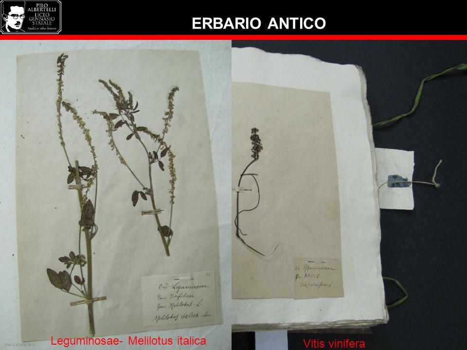 ERBARIO ANTICO Leguminosae- Melilotus italica Ilese aquifolium