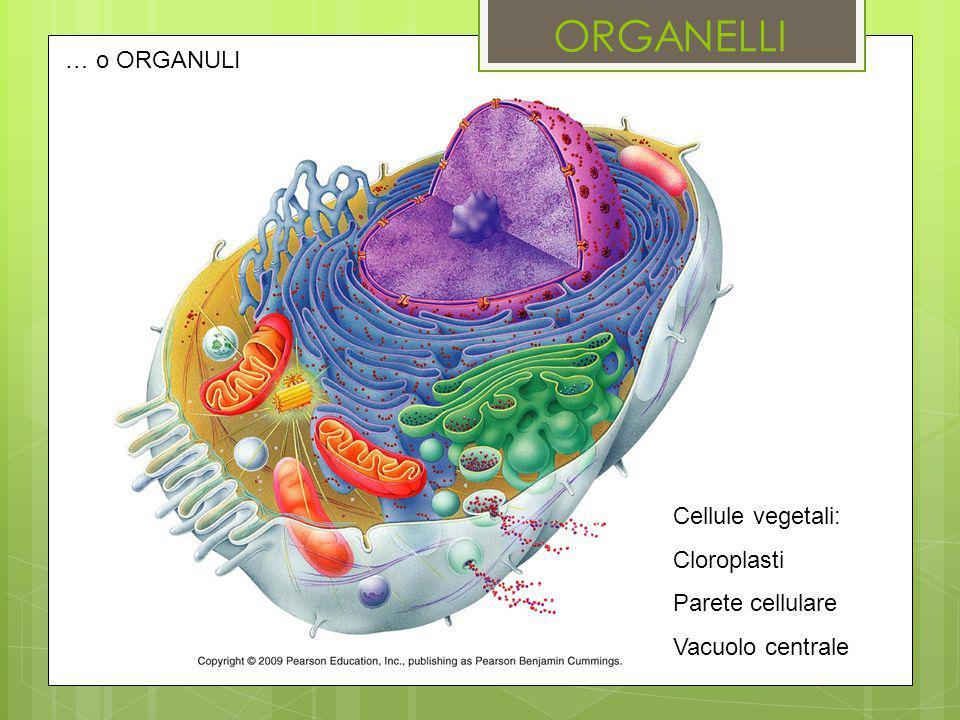 ORGANELLI … o ORGANULI Cellule vegetali: Cloroplasti Parete cellulare