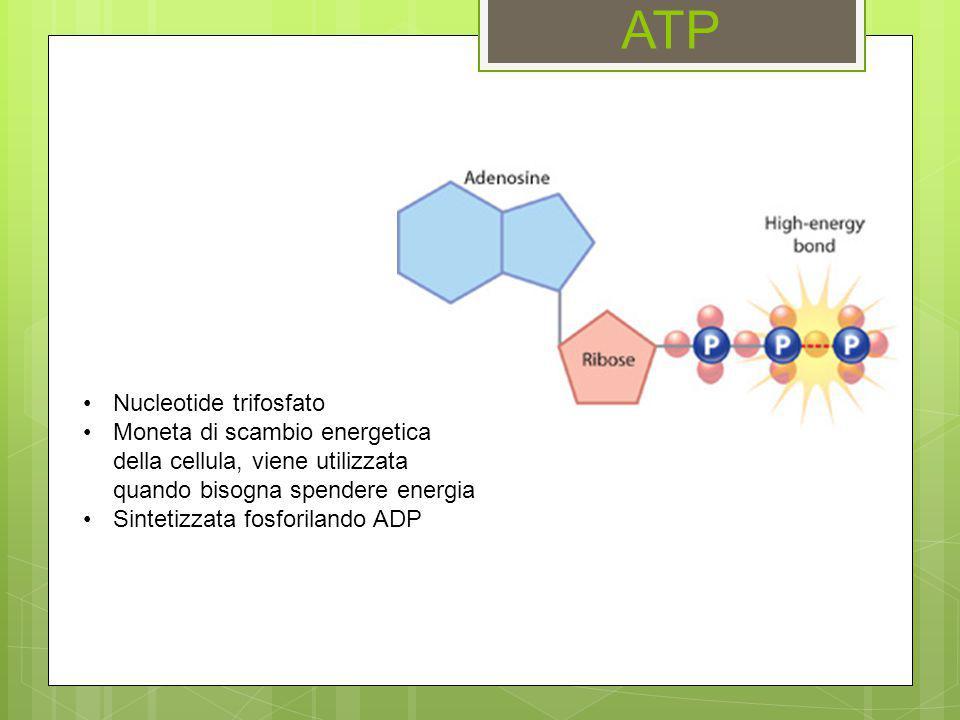 ATP Nucleotide trifosfato