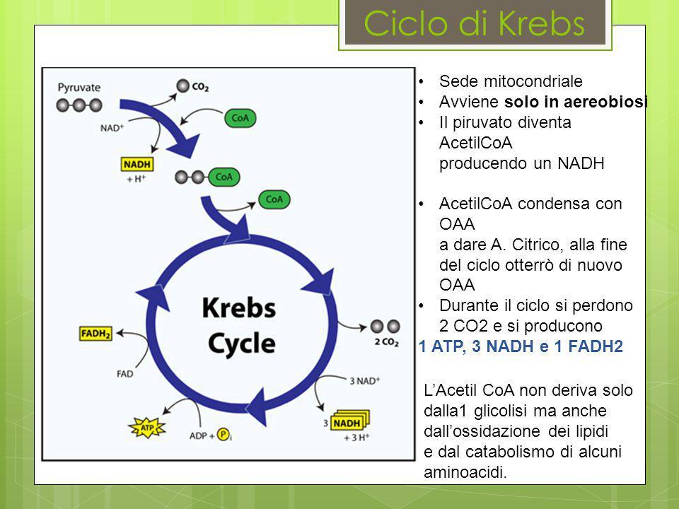 Ciclo di Krebs Sede mitocondriale Avviene solo in aereobiosi