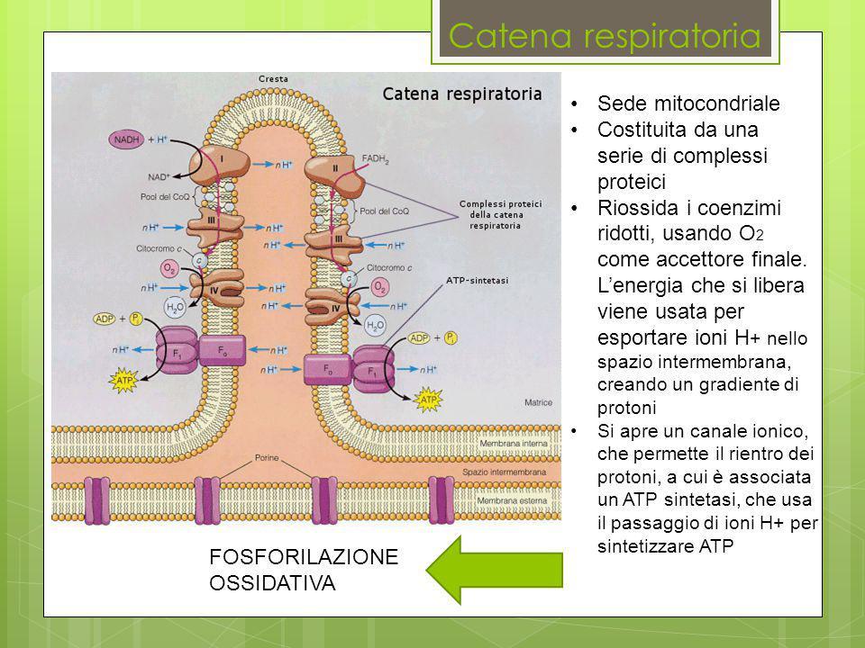 Catena respiratoria Sede mitocondriale