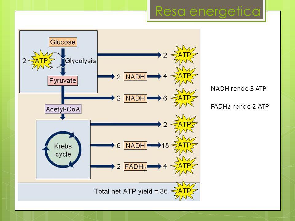 Resa energetica NADH rende 3 ATP FADH2 rende 2 ATP