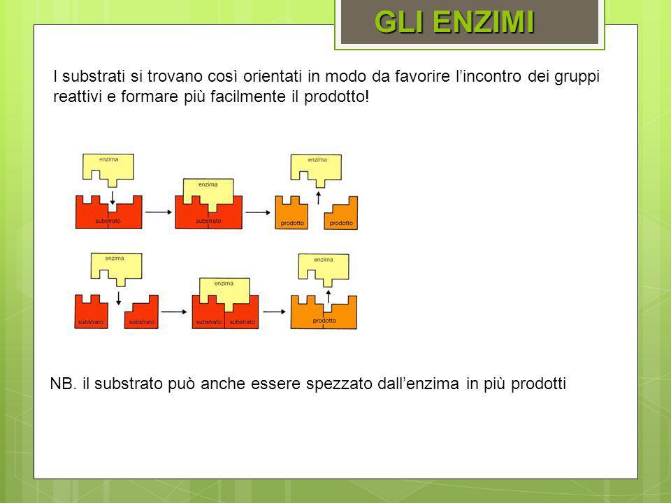 GLI ENZIMI I substrati si trovano così orientati in modo da favorire l'incontro dei gruppi reattivi e formare più facilmente il prodotto!
