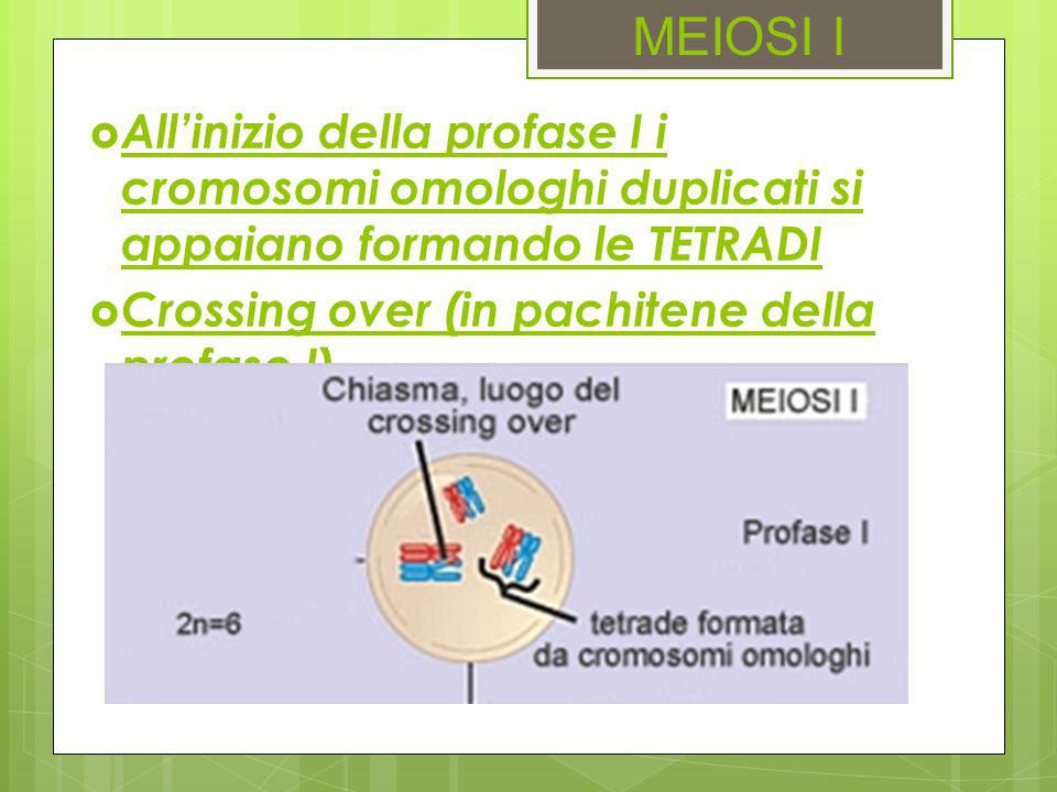 MEIOSI I All'inizio della profase I i cromosomi omologhi duplicati si appaiano formando le TETRADI.