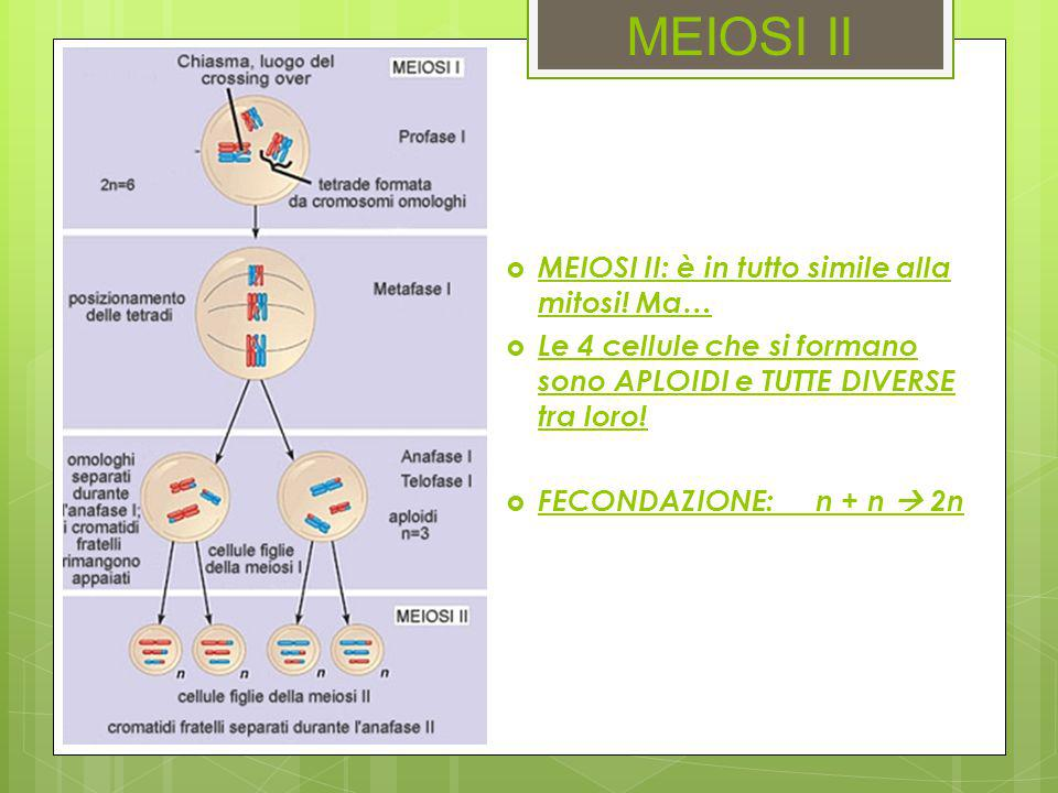 MEIOSI II MEIOSI II: è in tutto simile alla mitosi! Ma…