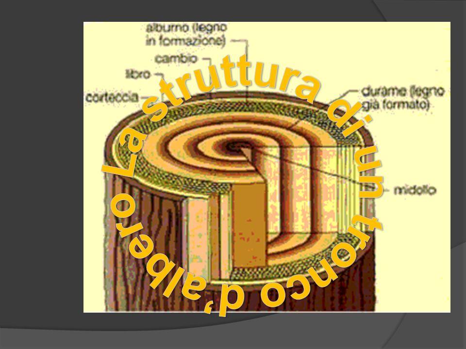 La struttura di un tronco d'albero