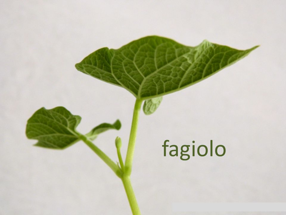 fagiolo