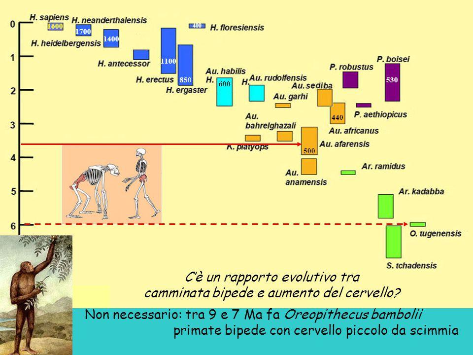 C'è un rapporto evolutivo tra camminata bipede e aumento del cervello