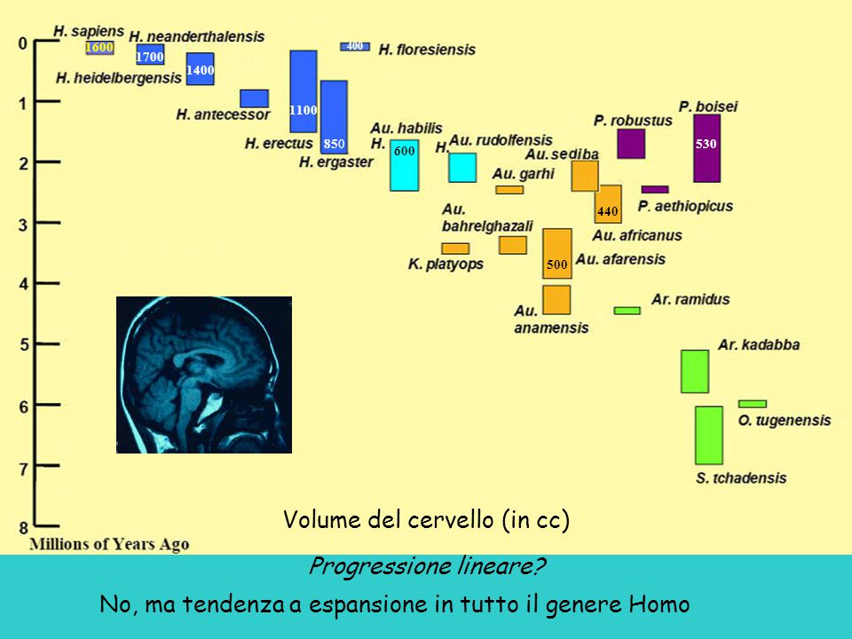 Volume del cervello (in cc)