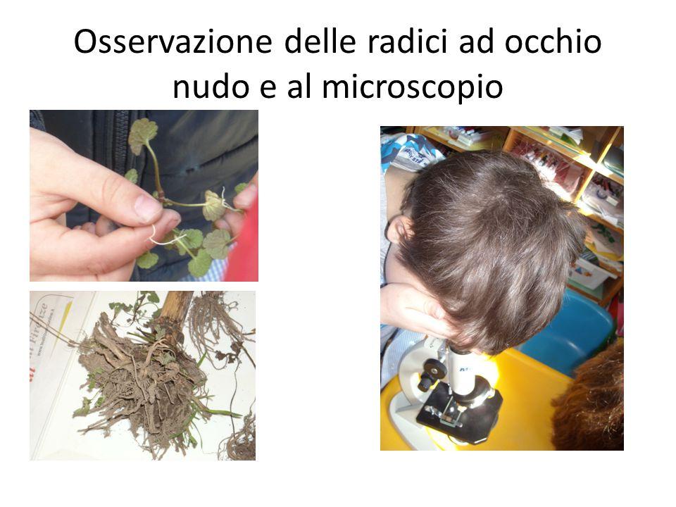 Osservazione delle radici ad occhio nudo e al microscopio